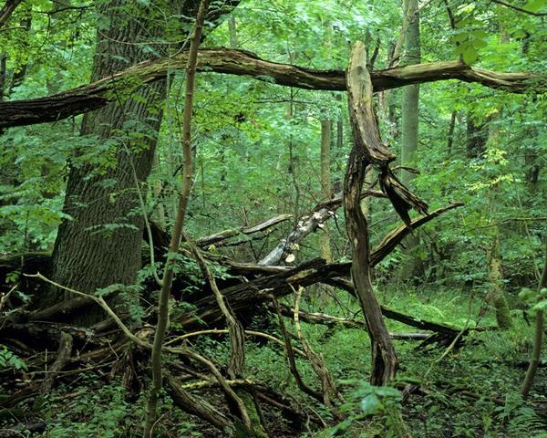 Naturskoven som oekosystem